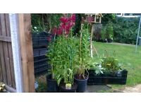 Hardy Perennial Lobelia Cardinalis - 4 litre pots - very pretty
