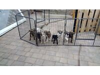 lurcher puppys