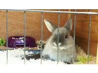 2 rabbits with hutches for sale