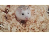 Roborovski baby hamsters x7 only 10 each