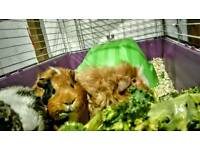 3 guinea pigs and accessories