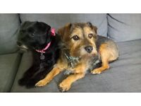 border terrier dogs
