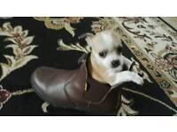 1 Jackuahua puppy left