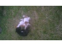 i have 3 lovely puppys for sale jack Russell