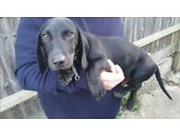 Beautiful 5 month old datchund puppy
