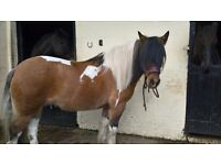PRETTY COB MARE FOR SALE