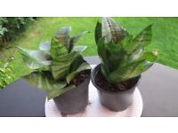 Sansevieria in a plastic pot- 5 small and 3 large