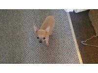 full short hair chihuahua pups