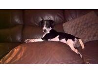 Bocker Dog For Sale