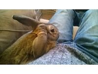 Young Male Rabbit - Rex Mix - born Sept '15 £15 on condition