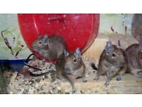 degus for sale,4 females. will eat out of your hand.sell as pair or all 4..£10 each