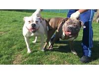 Bully cross victorian bulldog puppies for sale