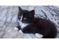 2 black and white long hair kittens