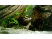 Fish (Kribensis) for sale