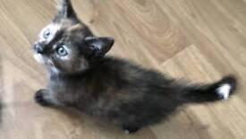 X4 tortishell female kittens