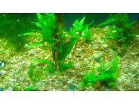 java fern aquarium plants