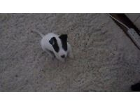 Stolen Jack Russell puppy dog (£50 reward)