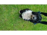 Tibetan Terrier, male, 16 months old,