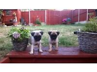 Beautiful male pug puppies