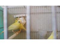 Canaries goldian