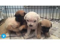 Pug Chihuahua chug bichon cavachon cross puppies available end of April