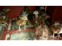 Chickens £5 each or 3 for £13