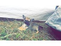 Chiwawa puppy 8 weeks boy chihuahua