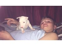 English bull terrier puppy's
