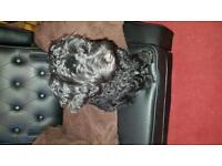 5month old male black cockerpoo for urgent sale