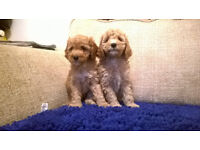 F1B COCKERPOO PUPPIES FROM DNA CLEAR FATHER READY NOW