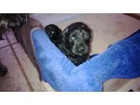 kerry blue pups