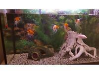 5 Koi Angel Fish 1 Pink Kisser
