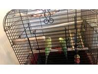 Budgies for sale x 2 INC. Cage and food