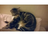 Missing cat ,,bs5 easton,,, tabby female,,,