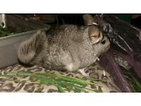 Two gorgeous standard breed chinchillas for adoption. Looking for a loving new home