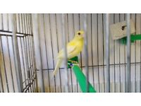 Different Canary family