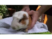 FOR SALE CUTE MALE GUINEA PIGS (Buy 3 MALE Guinea Pigs and get a BIG CAGE FOR £50.00 ONLY)