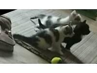 2 gorgeous kittens, boy and girl both light pretty markings
