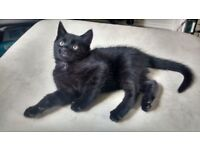 Beautiful Male Black Kitten ready to home litter trained flead and wormed 10 weeks old