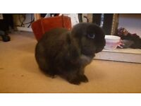 House Rabbit free to a loving home