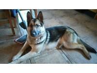 German Shepherd x husky..Female..£180..