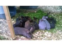Very cute and cuddly baby rabbits for sale, only a few left.