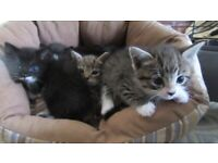 Fluffy and Kittens, ready for new homes. Striped £180, Black & White £100