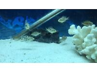 Nimbochromis livingstonii malawi cichlids fish