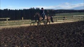15.3 Gorgeous Bay Mare 5yrs old