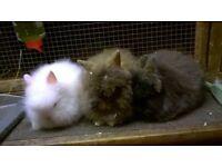 full lionhead rabbits for sale