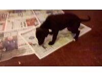 k.c. reg,,, whippet pups for sale