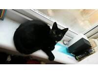 Black male kitten