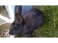 British Giant baby doe for sale last one (Reserved)
