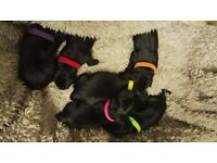 Black Labradore puppies for sale 3 female and 2 male available end of January 2017